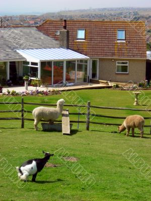 British goats and sheeps