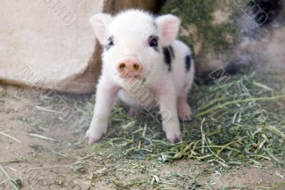 Adorable fuzzy one week old baby piglet