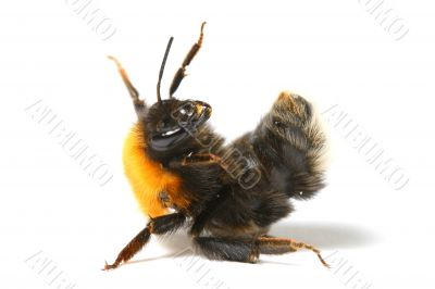 dance bumble bee