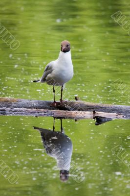 seagull and its reflection