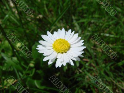 flower yellwo white small