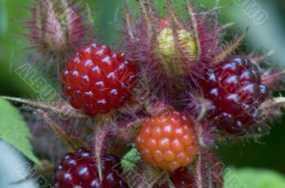 raspberry bush in the garden