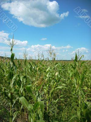 corn field and sky scenery
