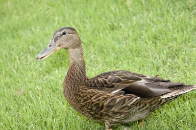 Adorable duck-y