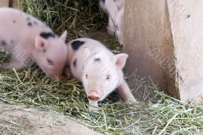 One day old baby piglets