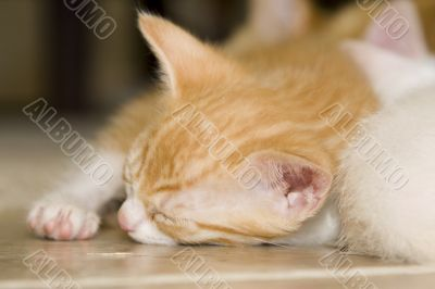 Sleeping orange and white kitten