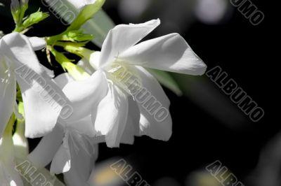 White oleandar