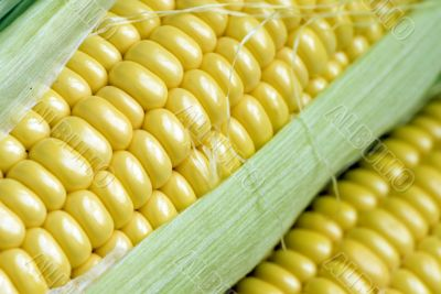 maize cob detail with green leaves