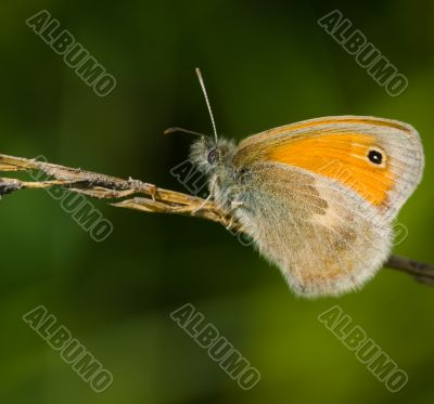 Butterfly Coenonympha pamphilus on a dry blade