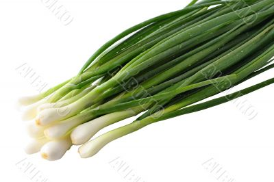 The fresh green onions broken from a bed, dew drop still shine o