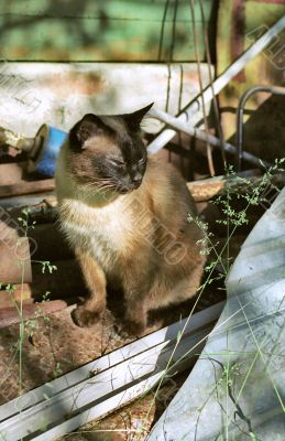 Siamese cat in starting-hole