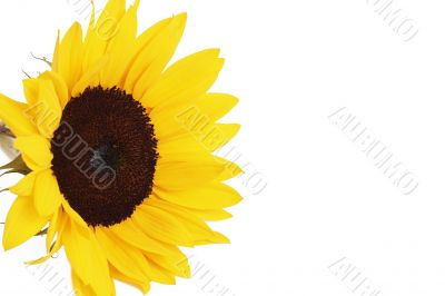 Bright yellow sunflower on white