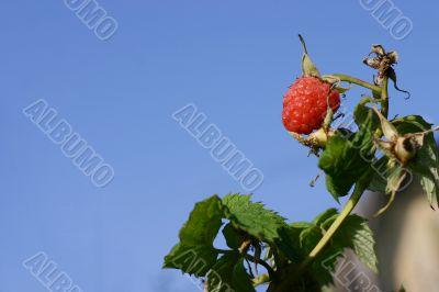 Raspberry on branch