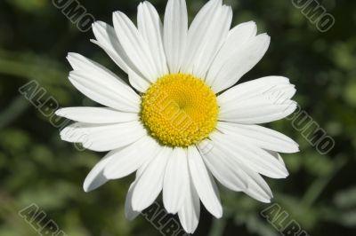 beautiful ox-eye daisy on a green