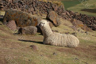 Lama in Sillustani