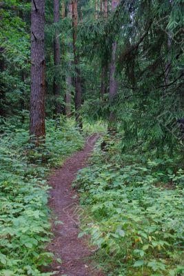 Footpath in a coniferous wood