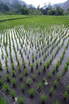 Rows and green rice