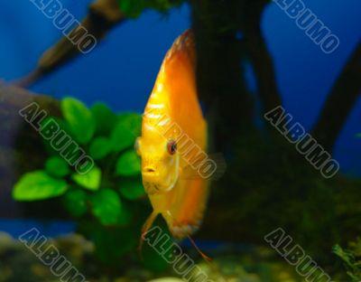 Orange discus fish in tank
