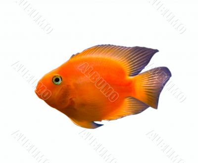gold fish isolated over white