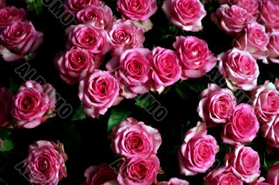 Bunch of pink carnation flowers
