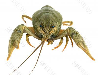 Riwer Crayfish