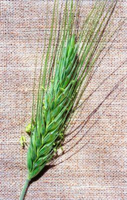 Flowering spica of rye