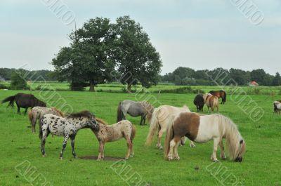 American mini horses