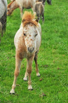 foal from American Mini horses