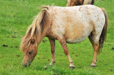 pregnant American mini horse