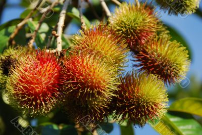 Rambutan Fruit A
