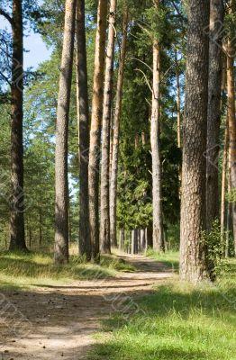 Footpath in a pine wood
