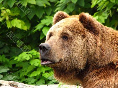 Closeup of Kodiak Brown Bear
