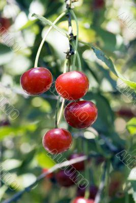 big sweet and juicily cherries