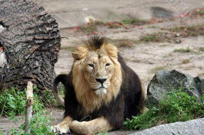 Portrait of noble male lion.