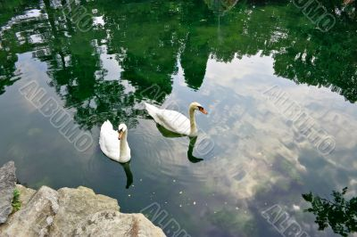 Two swan swim in a pond