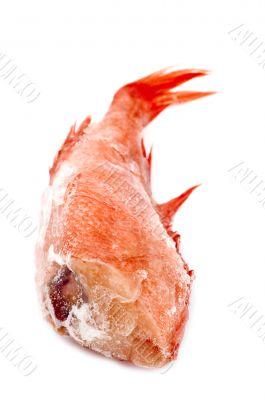 Red perch macro