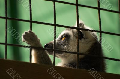 Lemur behind a lattice