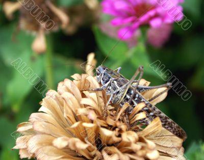 Big brown locusts
