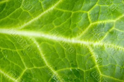 a photo macro of leaf green lettuce and fresh