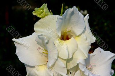 Gladiolus