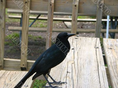 Crow looking for a handout