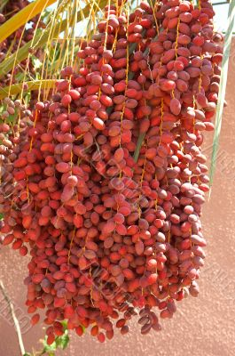Dates grow on the palm.