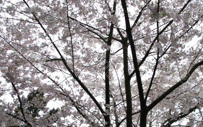 pick cherry tree
