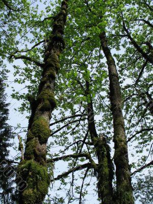 mossy tall trees