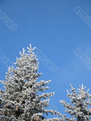 frosted conifer against blue sky