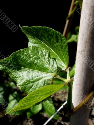 Runner Bean Plant Leaf