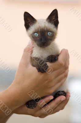 Precious little Siamese cat