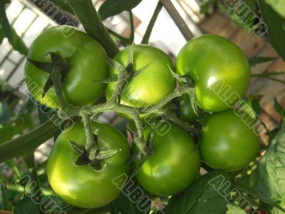 tomato sixpack