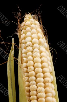 Raw corn closeup