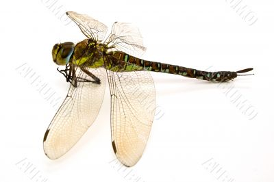 dragon-fly in a type